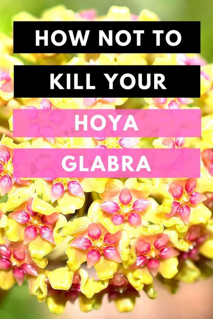 How Not To Kill Your Hoya Glabra