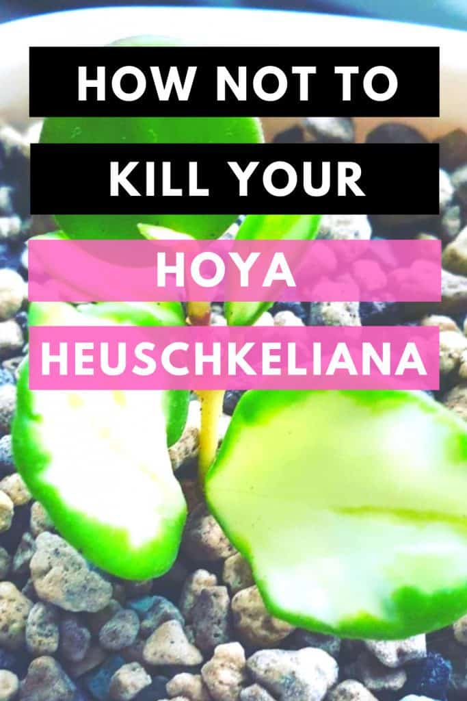 Hoya Heuschkeliana Best Care Tips 1
