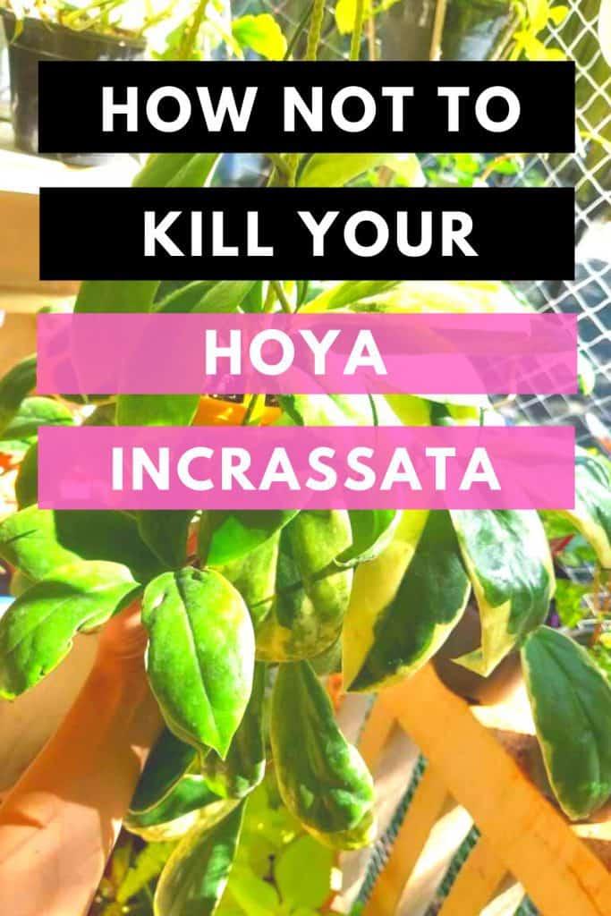 How Not To Kill Your Hoya Incrassata