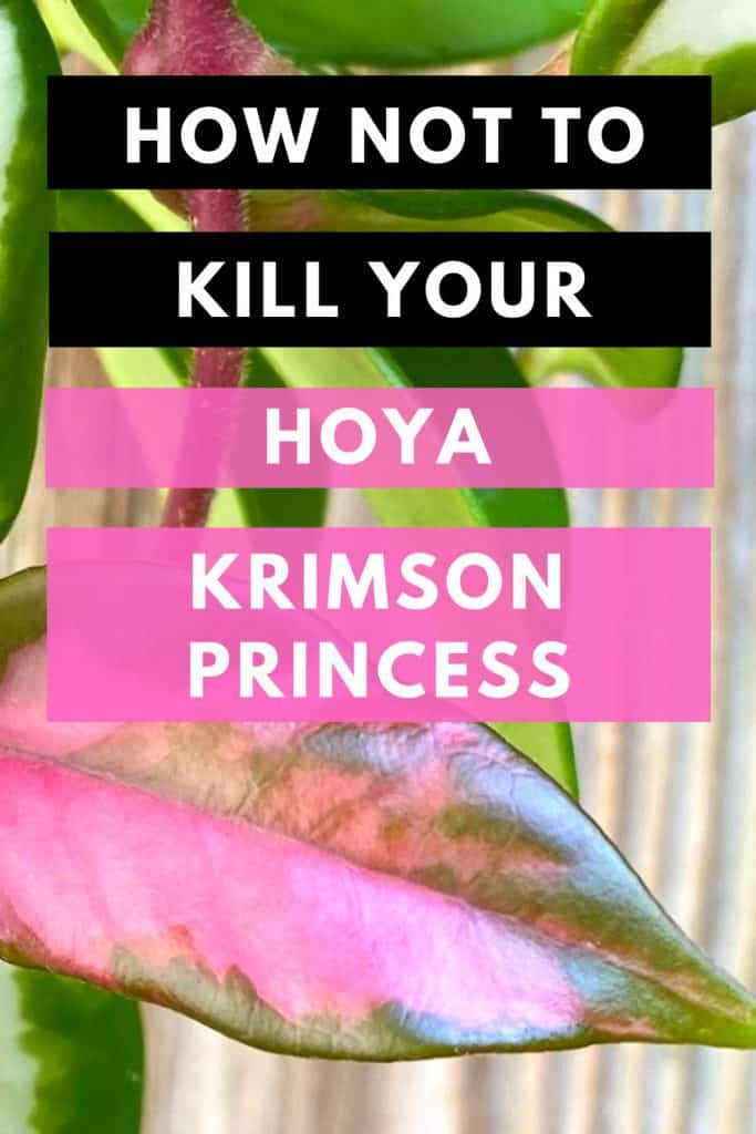 How Not To Kill Your Hoya Krimson Princess