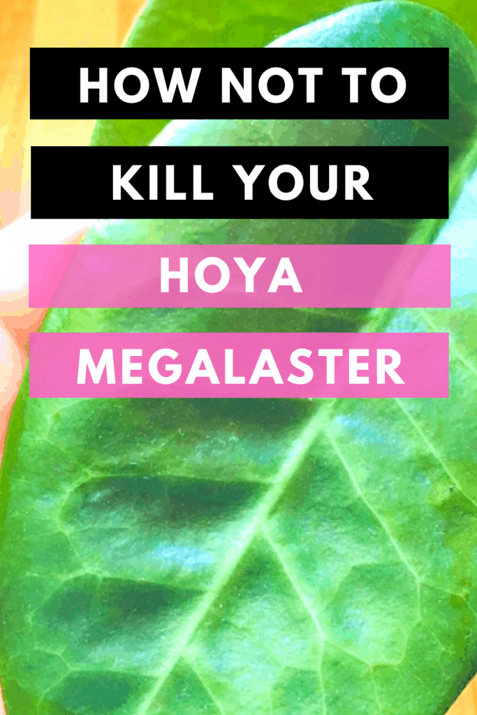 How Not To Kill Your Hoya Megalaster