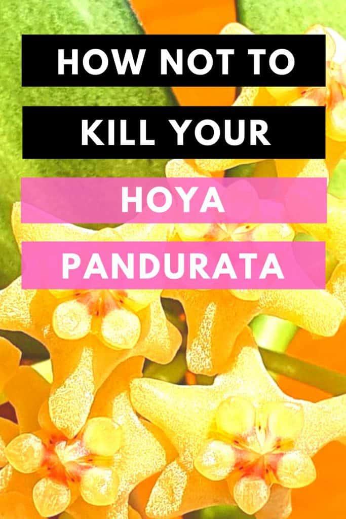 How Not To Kill Your Hoya Pandurata