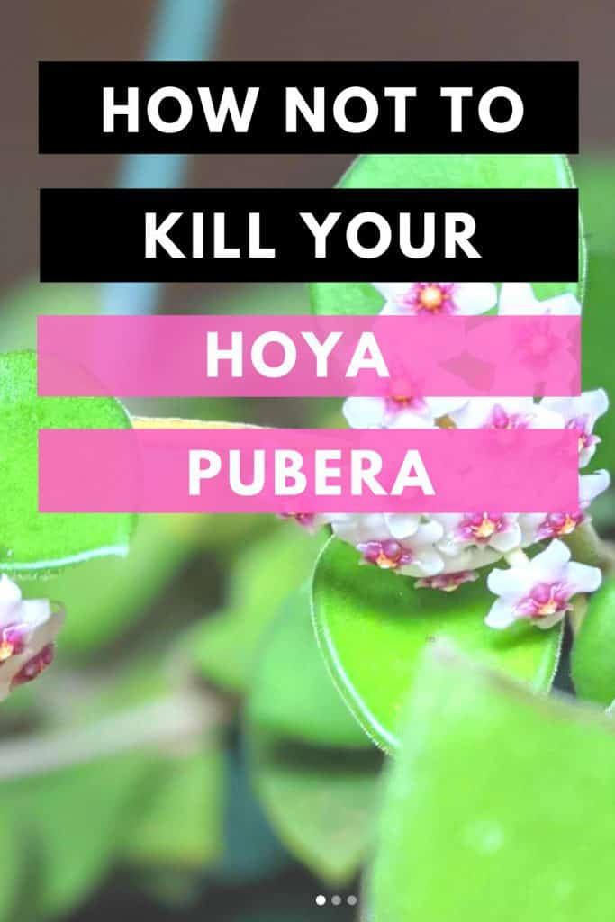 Hoya Pubera Care From Start to Finish 1