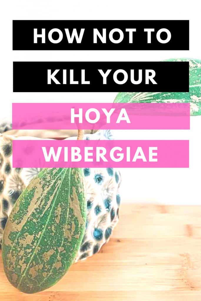 How Not To Kill Your Hoya Wibergiae