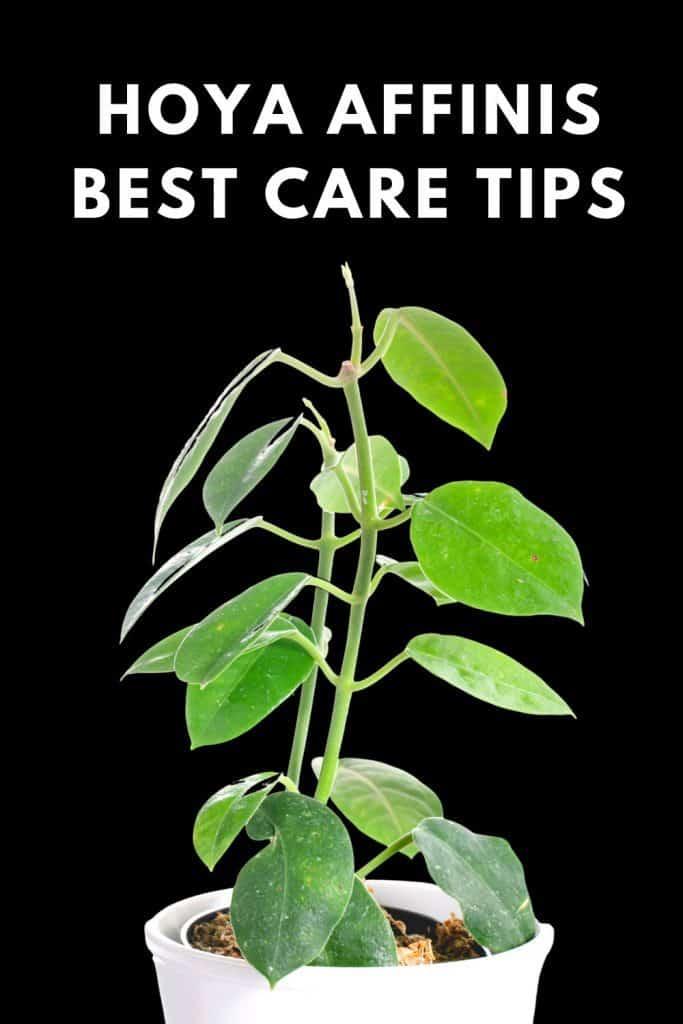 Hoya Affinis Best Care Tips