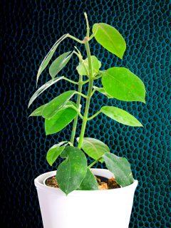 Hoya Affinis Plant Care