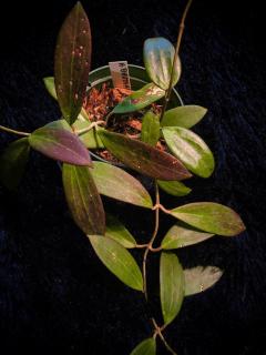 Hoya Bhutanica Plant Care