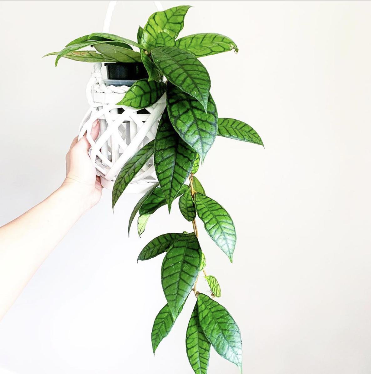 Hoya Callistophylla