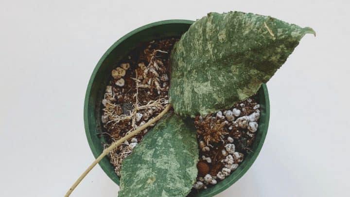 Hoya Caudata Care – Greenthumb Guide