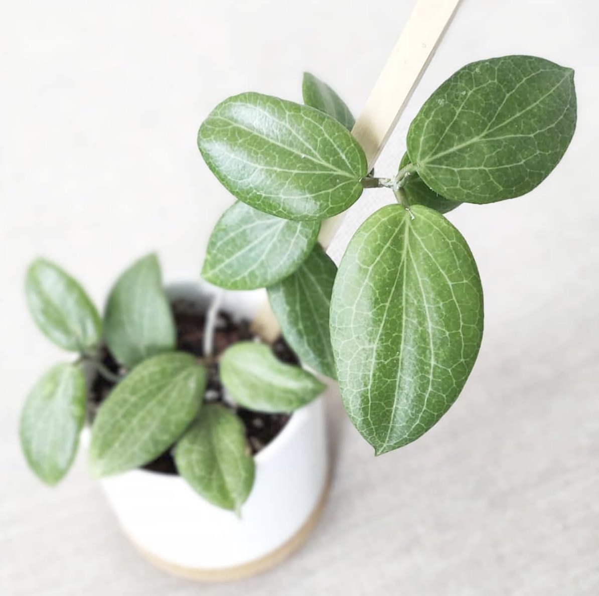 Hoya Fitchii Care – You Need To Know This