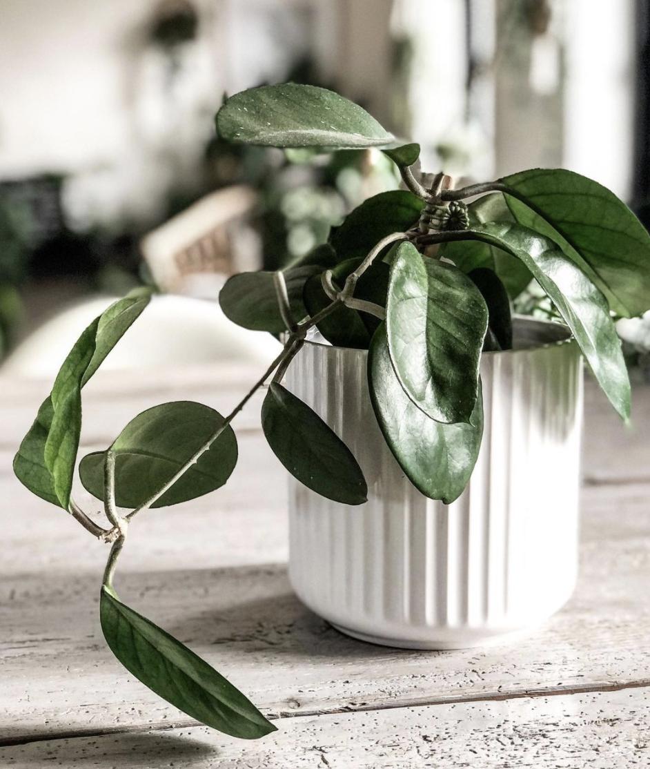 Hoya Fungii Care – Best Tips Revealed