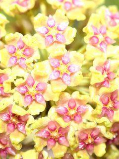 Hoya Glabra Plant Care