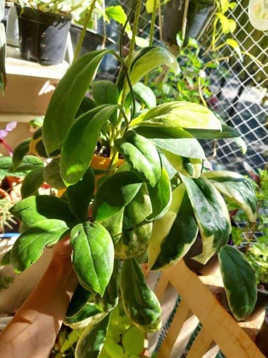 Hoya Incrassata Plant Care