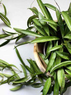 Hoya Longifolia Plant Care