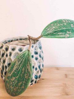 Hoya Wibergiae Plant Care