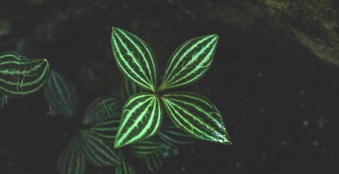 Peperomia Tetragona Plant Care