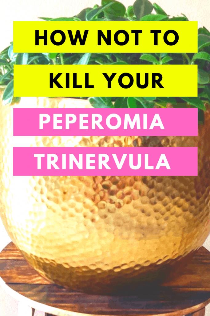 Peperomia Trinervula Care