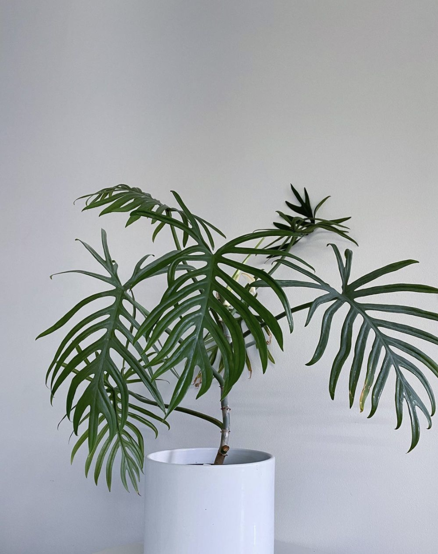 Philodendron Elegans Care Guide