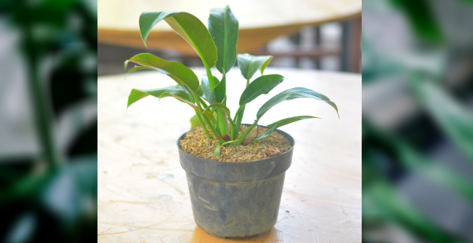 Philodendron Martianum Plant Care