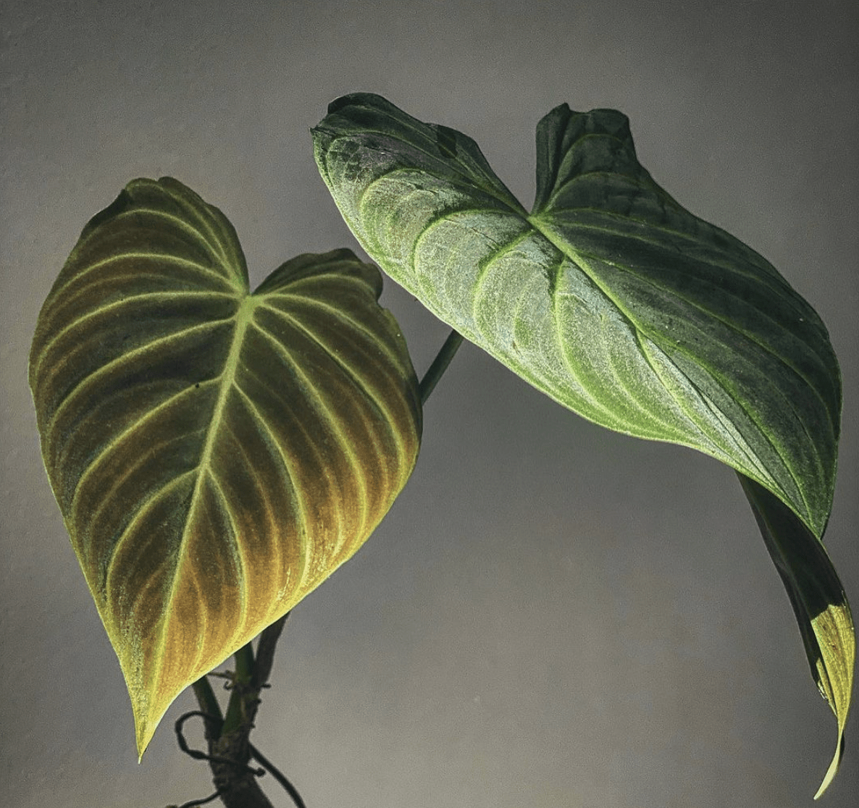 Philodendron Verrucosum x Melanochrysum