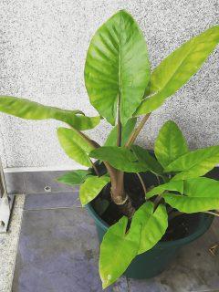 Alocasia Brisbanensis