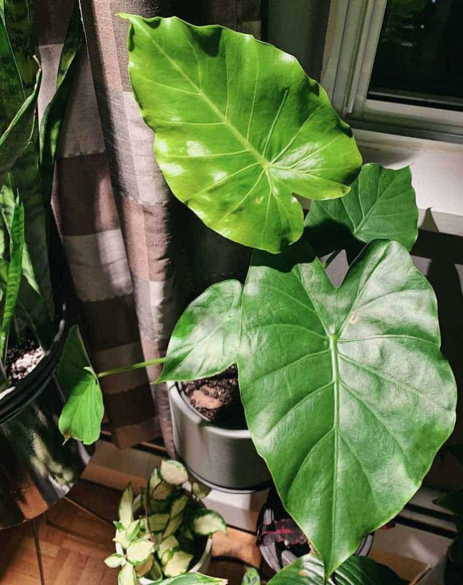 Tình yêu cây cỏ ĐV2 - Page 57 Alocasia-Odora-Plant-Care-Guide