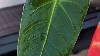 Anthurium Angamarcanum Plant Care