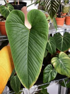 Anthurium Insigne Care