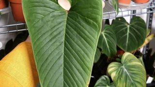 Anthurium Insigne Care