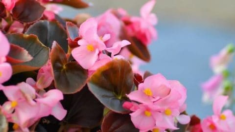 Fail-safe Tips for Begonia X Semperflorens Care