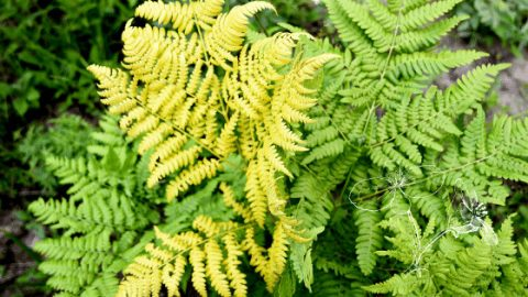 7 Reasons Your Fern Is Turning Yellow