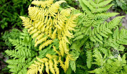 Fern Is Turning Yellow