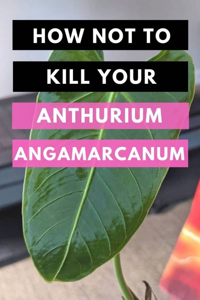 How Not To Kill Your Anthurium Angamarcanum
