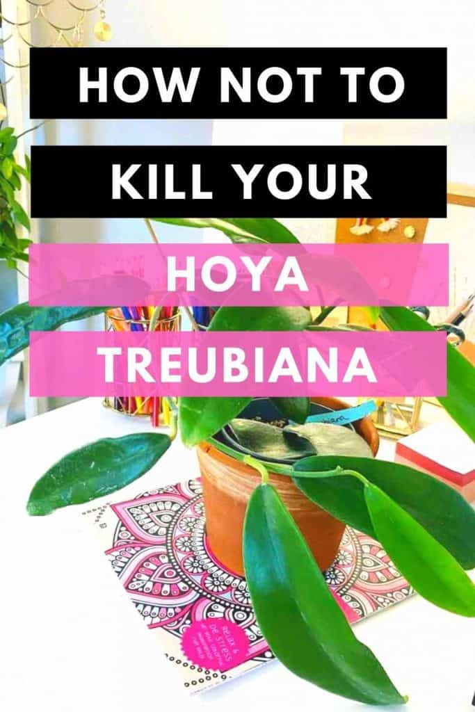 Hoya Treubiana Top Care Tips 1