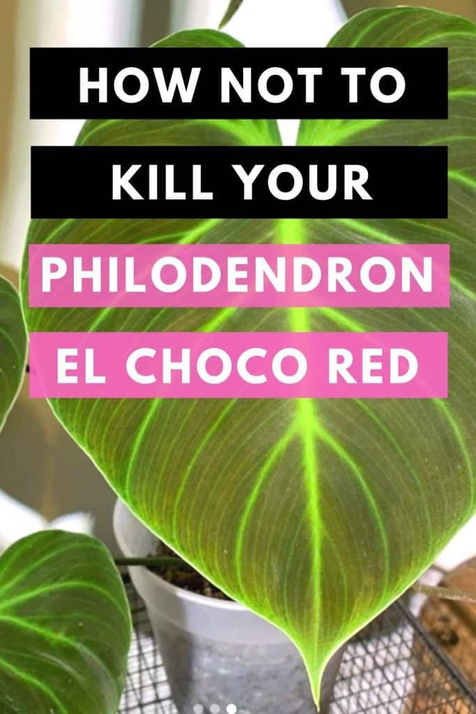 How Not To Kill Your Philodendron El Choco Red