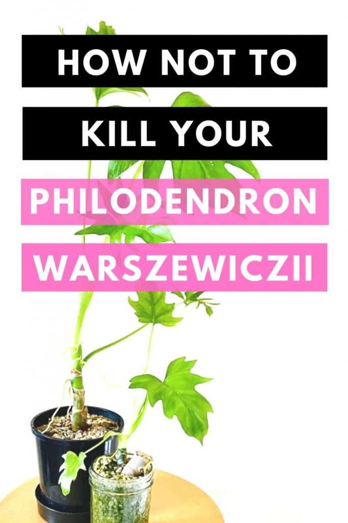 How Not To Kill Your Philodendron Warszewiczii