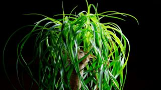 How to Trim and Prune a Ponytail Palm
