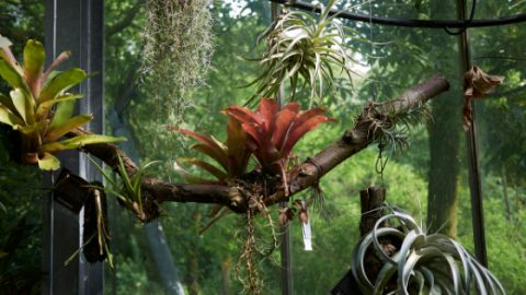 How to attach Bromeliads to trees and other surfaces