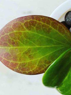 Hoya Merriilii Plant Care