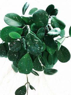Hoya Obovata Plant Care