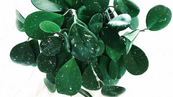 Hoya Obovata Care Tips That Actually Work