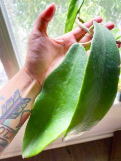 Hoya Treubiana Plant Care