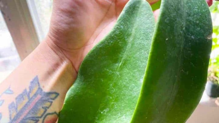 Hoya Treubiana Top Care Tips