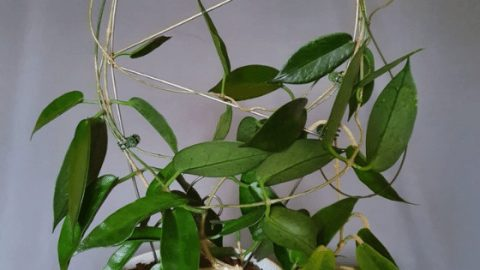 Hoya macgillivrayi – How To Care For This Plant