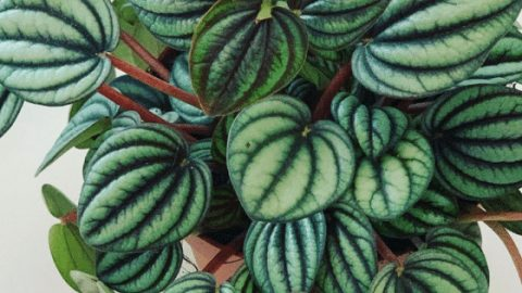 Peperomia Albovittata Care – Things You Need To Know!