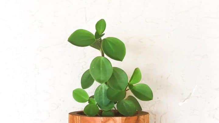 Peperomia Blanda Best Care Tips