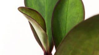 Peperomia Clusiifolia Plant Care