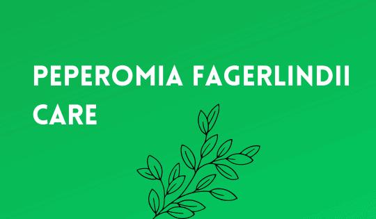 Peperomia Fagerlindii