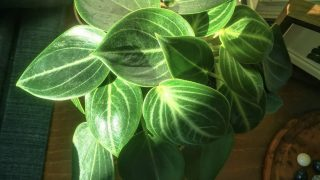 Peperomia Maculosa