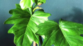 Philodendron Lacerum Plant Care
